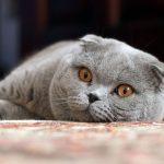 Корм для шотландских кошек